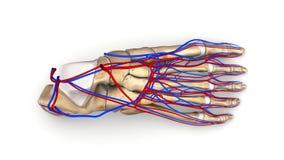 Fußknochen mit Draufsicht der Blutgefäße Stockbild