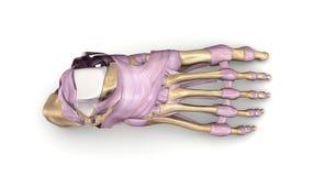 Fußknochen mit Draufsicht der Ligamente Stockbild