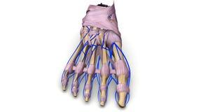 Fußknochen mit Ligamenten und Adervorderansicht Stockfoto