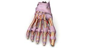 Fußknochen mit Ligamenten und Arterienvorderansicht Stockfotografie