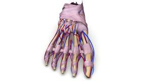 Fußknochen mit Ligamenten und Blutgefäßvorderansicht Stockfotografie