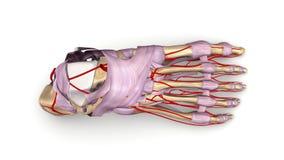Fußknochen mit Ligamenten und Draufsicht der Arterien Stockfotografie
