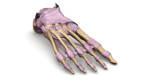 Fußknochen mit Ligamentperspektivenansicht Stockbilder