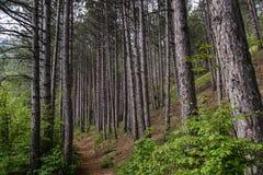 Fußweg durch einen Kiefernwald Lizenzfreies Stockfoto