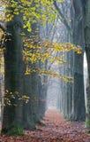 Fußweg mit Buchen im Herbst Stockfoto