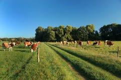 Fußweg mit dem Weiden lassen der Kühe Stockbild