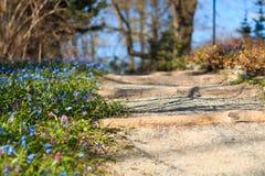 Fußweg mit den blauen Schneeglöckchen auf der Seite im Park Lizenzfreies Stockbild
