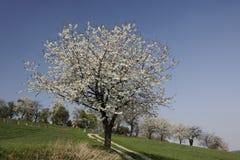 Fußweg mit Kirschbäumen in Hagen, Deutschland Stockbild