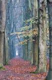 Fußweg mit majestätischen Buchen Lizenzfreie Stockfotografie