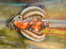 Fu Manchu Lionfish royalty-vrije stock afbeeldingen