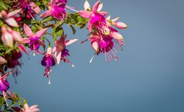 Fuchia flowers. Beautiful fuchsia flowers shine in the afternoon sun Royalty Free Stock Photography