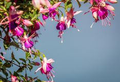 Fuchia flowers. Beautiful fuchsia flowers shine in the afternoon sun Royalty Free Stock Image