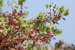 fuchsia ветви Стоковая Фотография RF