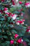 Fuchsia двойные неоновые белые цветки гибрида дивы Стоковые Фотографии RF