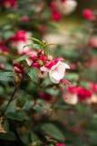 Fuchsia двойные неоновые белые цветки гибрида дивы Стоковые Изображения