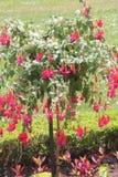 Fuchsia дерево с красными цветками Стоковое Изображение