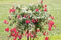 Fuchsia дерево с красными цветками Стоковые Изображения RF