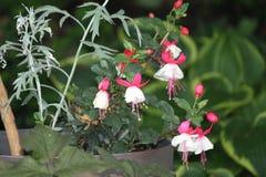 Fuchsia завод & x28; красный цвет и white& x29; Стоковые Изображения