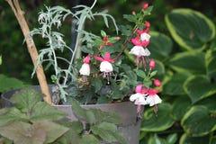 Fuchsia завод & x28; красный цвет и white& x29; Стоковые Изображения RF
