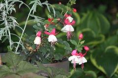 Fuchsia завод & x28; красный цвет и white& x29; Стоковое фото RF