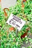 Fuchsia корзины Стоковая Фотография