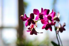 fuchsia орхидея Стоковая Фотография RF