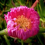 Fuchsia отверстие цветка Стоковые Фото