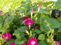 Fuchsia славы утра в различных этапах отверстия Стоковое фото RF