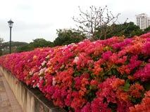 Fuchsia цветки бугинвилии на парке Benchakitti Стоковые Фотографии RF