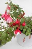 fuchsia Fuchsia цветки в тенях розового и белого в баке изолированном на белой предпосылке желтый цвет картины сердца цветков пад Стоковые Изображения