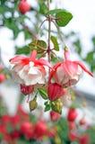 Fuchsia цветки lena Стоковые Изображения