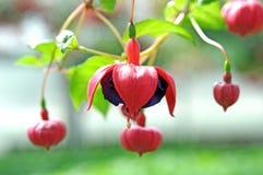 Fuchsia цветок lena Стоковое Изображение RF