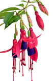 Fuchsia. Pink and purple fuchsia isolated on white background stock photography