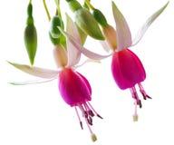 Fuchsia. Fresh Fuchsia flowers isolated on white background Royalty Free Stock Photos