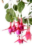 Fuchsia. On white background. (Isolated Royalty Free Stock Photo