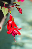 Fuchsia. Beautiful red fuchsia blossoming outdoors Royalty Free Stock Image