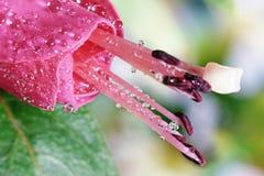 Fuchsia Stock Photos