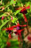 Fuchsia Стоковые Изображения