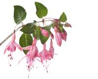 Fuchsia Stock Image