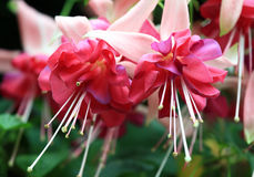 Fuchsia Royalty Free Stock Images