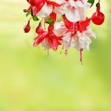 fuchsia Arkivfoton