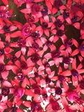 fuchsia стоковое изображение