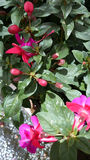 Fuchsia aretes 'Upright Jollies Nantes' Royalty Free Stock Image