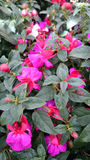 Fuchsia aretes 'Upright Jollies Nantes' Royalty Free Stock Photo