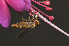 Fuchsia avec la mouche de syrphid Photographie stock libre de droits