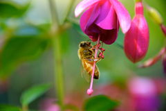 Bee on fuchsia flower. A close up of a honeybee on a bright pink fuchsia flower Royalty Free Stock Image
