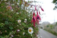 Fuchsia blomma royaltyfri fotografi