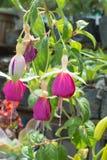 Fuchsia blomma royaltyfria foton