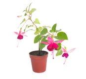 Fuchsia blommahouseplants i blommakruka Fotografering för Bildbyråer