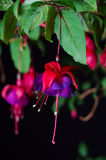 Fuchsia bloom. A single fuchsia bloom in front of a black background royalty free stock image
